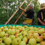 Apples of Val di Non